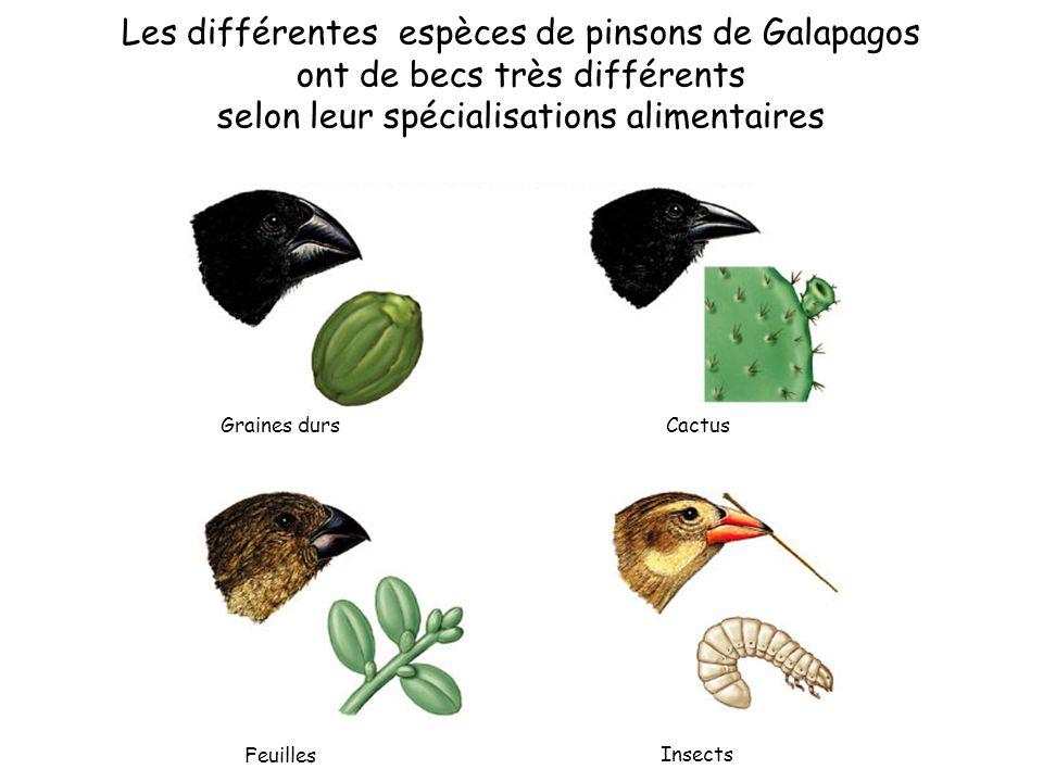 Les différentes espèces de pinsons de Galapagos ont de becs très différents selon leur spécialisations alimentaires