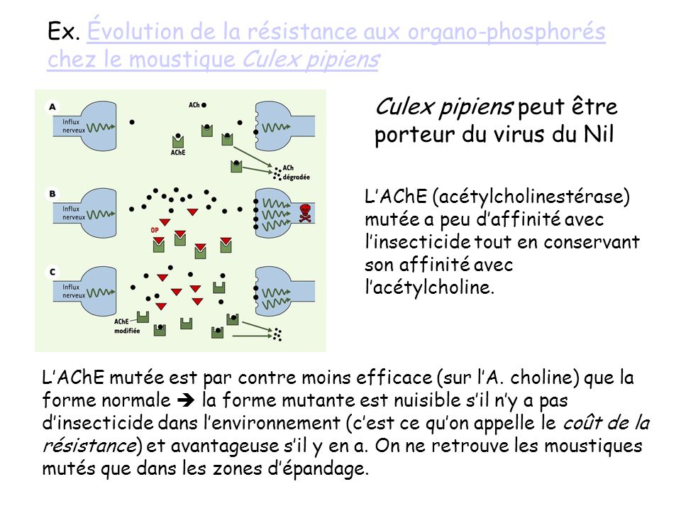 Culex pipiens peut être porteur du virus du Nil