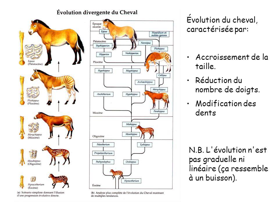 Évolution du cheval, caractérisée par: