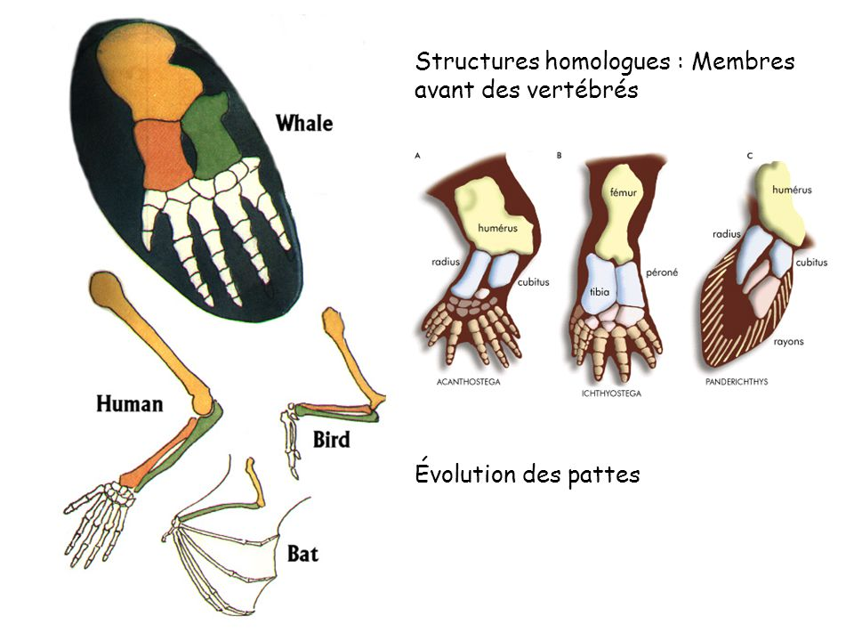 Structures homologues : Membres avant des vertébrés