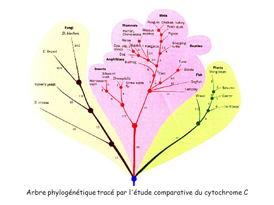 Arbre phylogénétique tracé par l étude comparative du cytochrome C