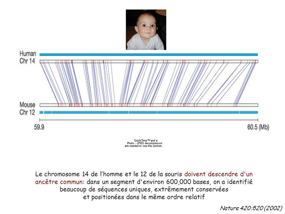 Le chromosome 14 de l'homme et le 12 de la souris doivent descendre d un ancêtre commun: dans un segment d environ 600,000 bases, on a identifié beaucoup de séquences uniques, extrêmement conservées et positionées dans le même ordre relatif