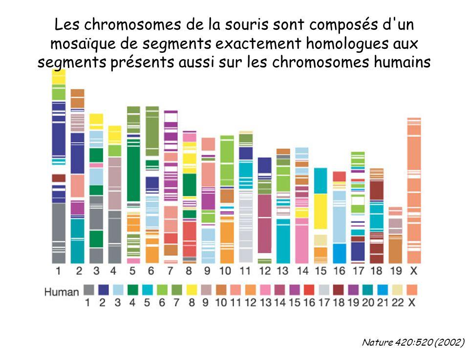 Les chromosomes de la souris sont composés d un mosaïque de segments exactement homologues aux segments présents aussi sur les chromosomes humains