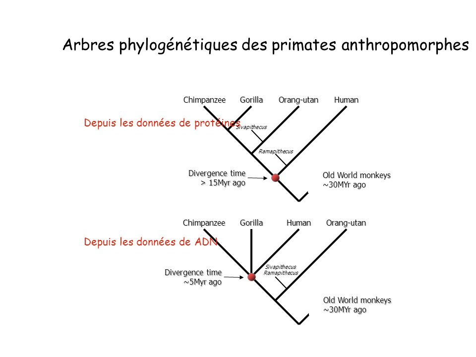 Arbres phylogénétiques des primates anthropomorphes