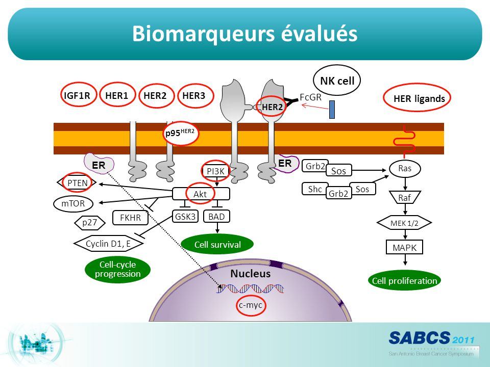 Biomarqueurs évalués Y NK cell MEK 1/2 MAPK Nucleus Sos HER ligands