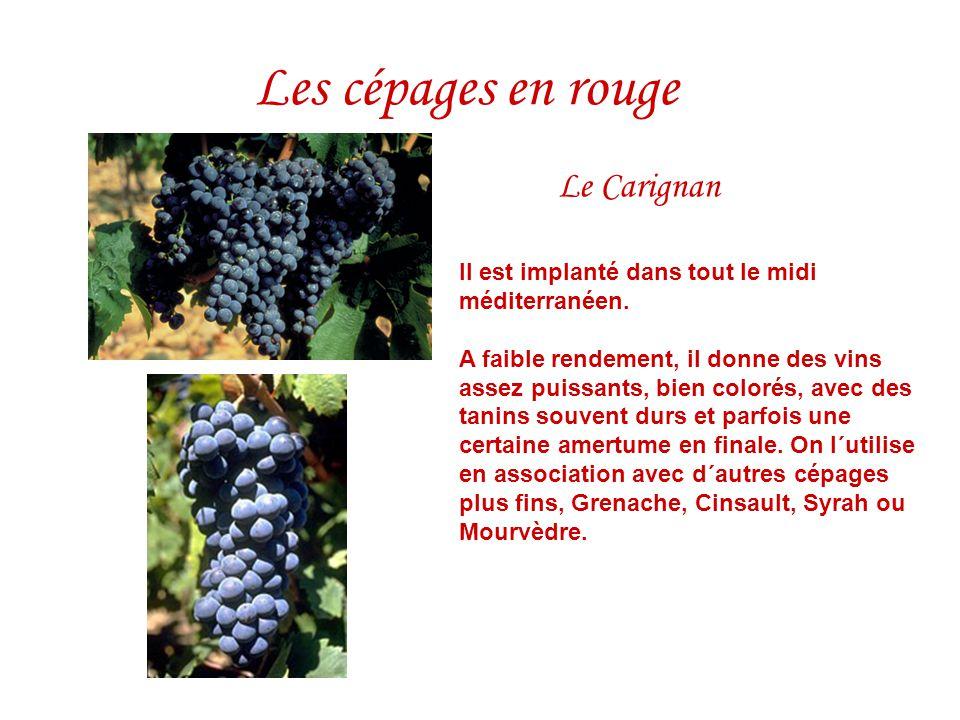 Les cépages en rouge Le Carignan