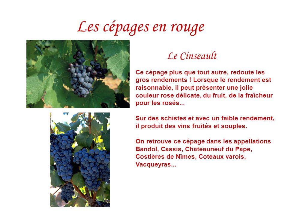 Les cépages en rouge Le Cinseault