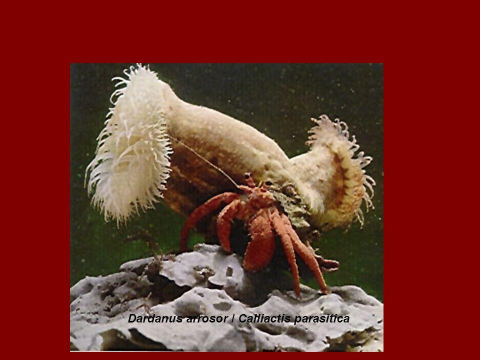 Dardanus arrosor / Calliactis parasitica