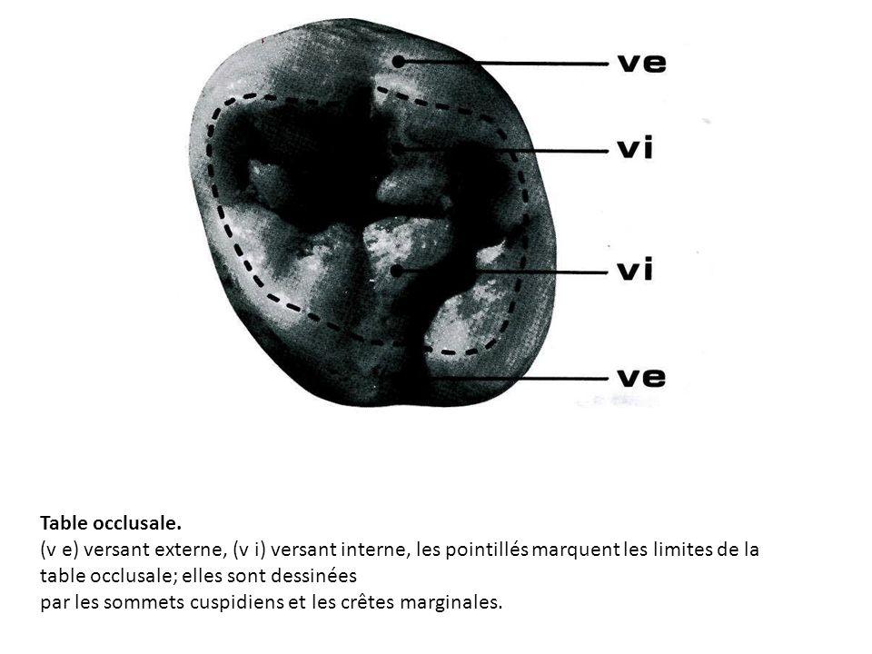 Table occlusale. (v e) versant externe, (v i) versant interne, les pointillés marquent les limites de la table occlusale; elles sont dessinées.