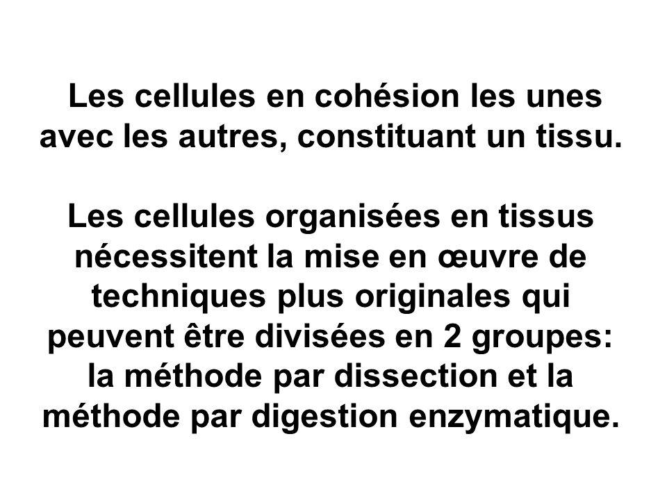 Les cellules en cohésion les unes avec les autres, constituant un tissu.