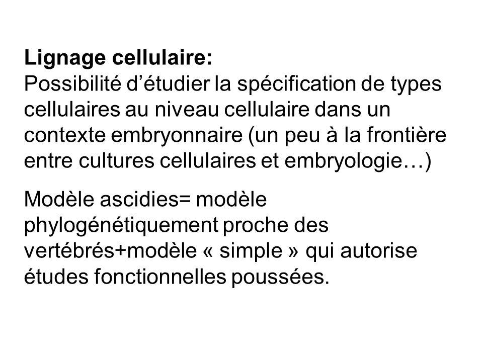 Lignage cellulaire: