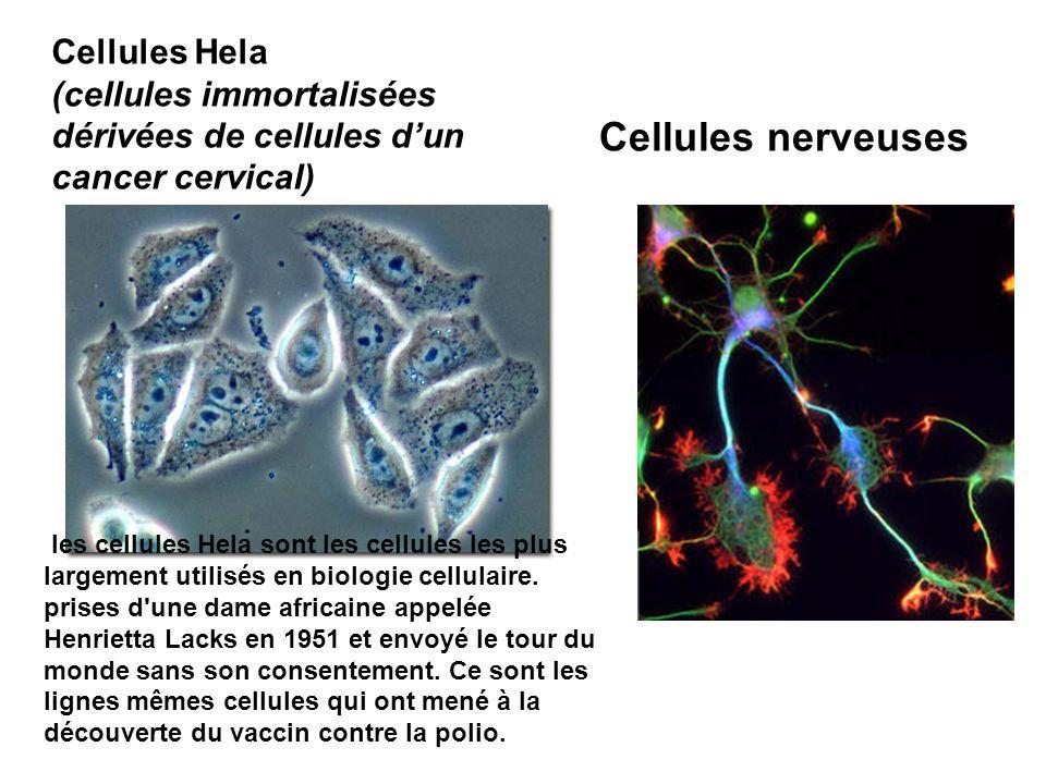 Cellules nerveuses Cellules Hela