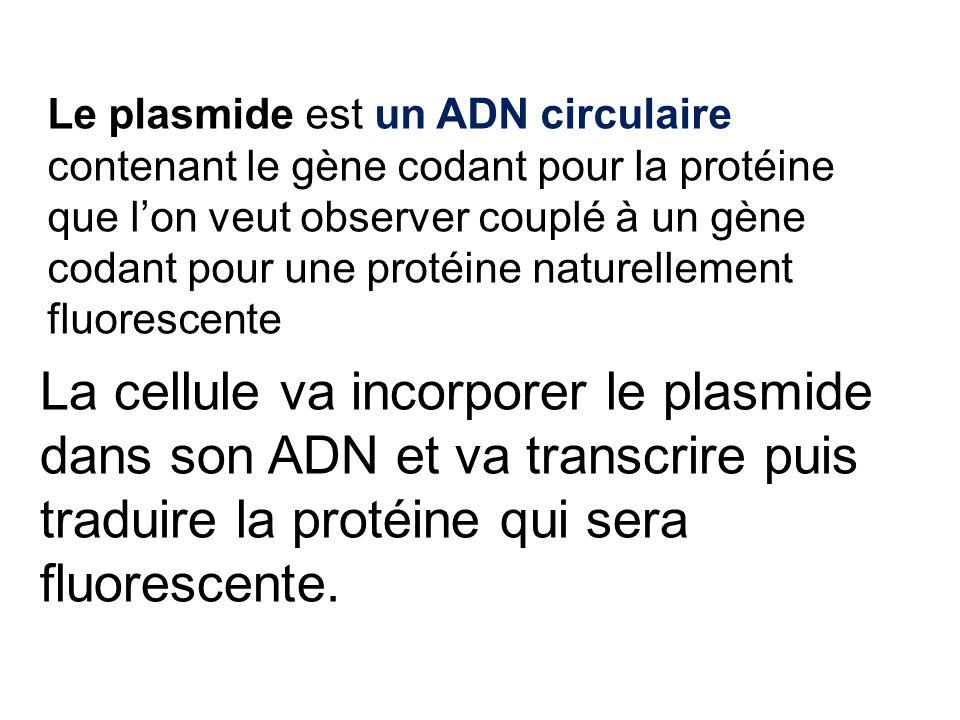 Le plasmide est un ADN circulaire contenant le gène codant pour la protéine que l'on veut observer couplé à un gène codant pour une protéine naturellement fluorescente