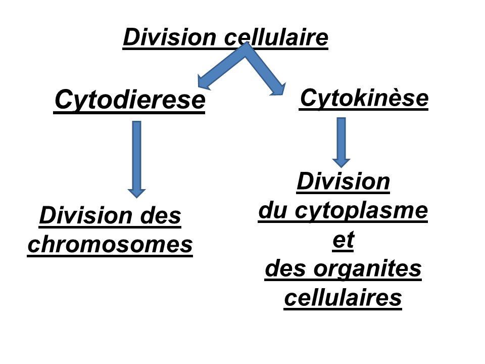des organites cellulaires Division des chromosomes
