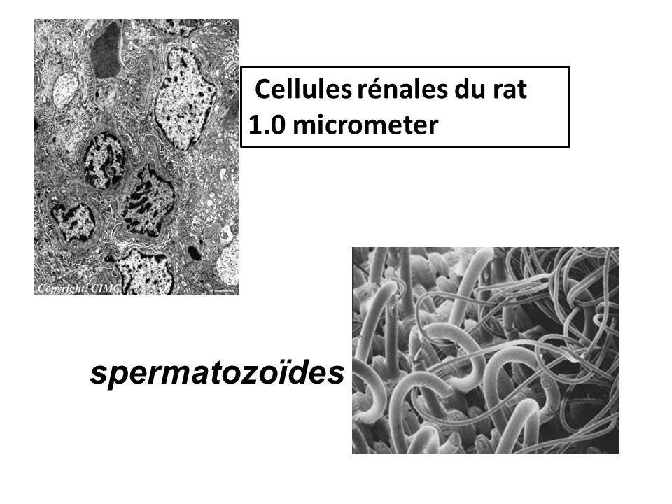 Cellules rénales du rat