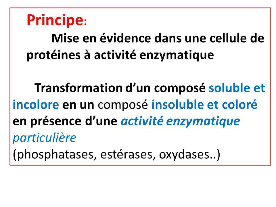 Principe: Mise en évidence dans une cellule de protéines à activité enzymatique.