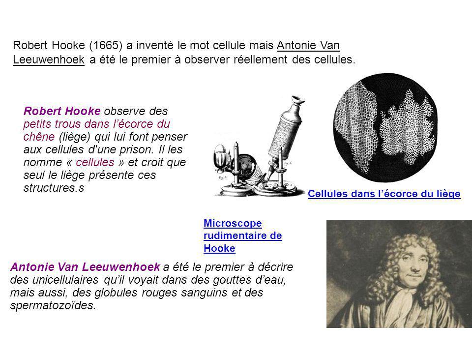 Robert Hooke (1665) a inventé le mot cellule mais Antonie Van Leeuwenhoek a été le premier à observer réellement des cellules.