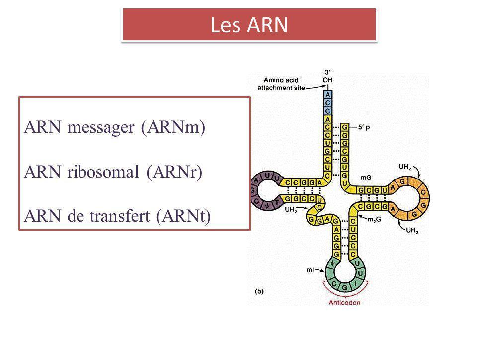 Les ARN ARN messager (ARNm) ARN ribosomal (ARNr)