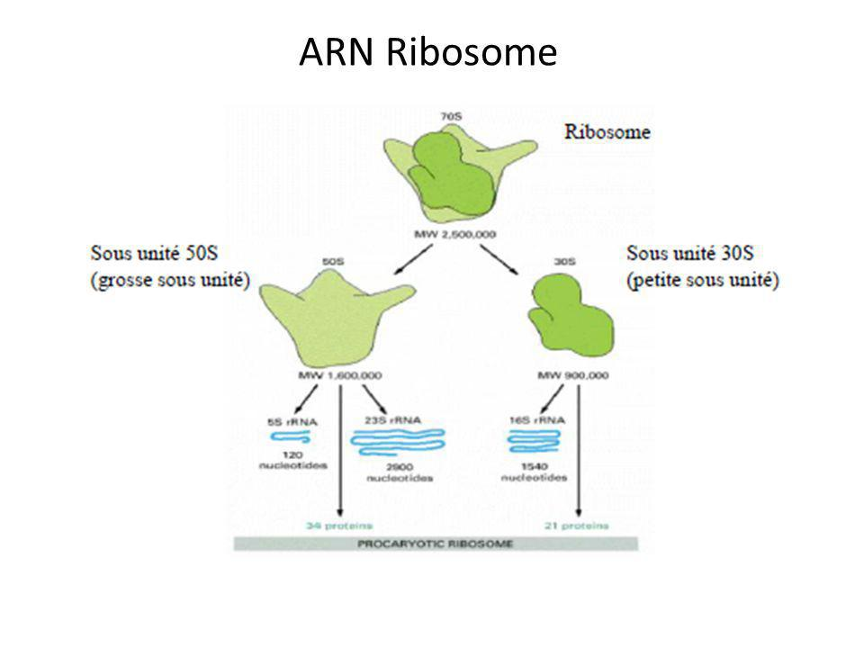 ARN Ribosome