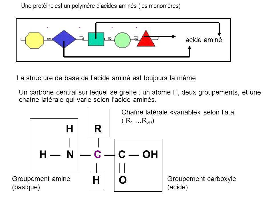 Une protéine est un polymère d'acides aminés (les monomères)