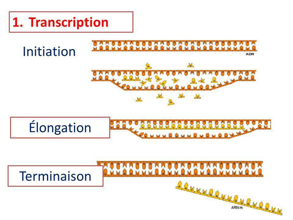 Transcription Initiation Élongation Terminaison