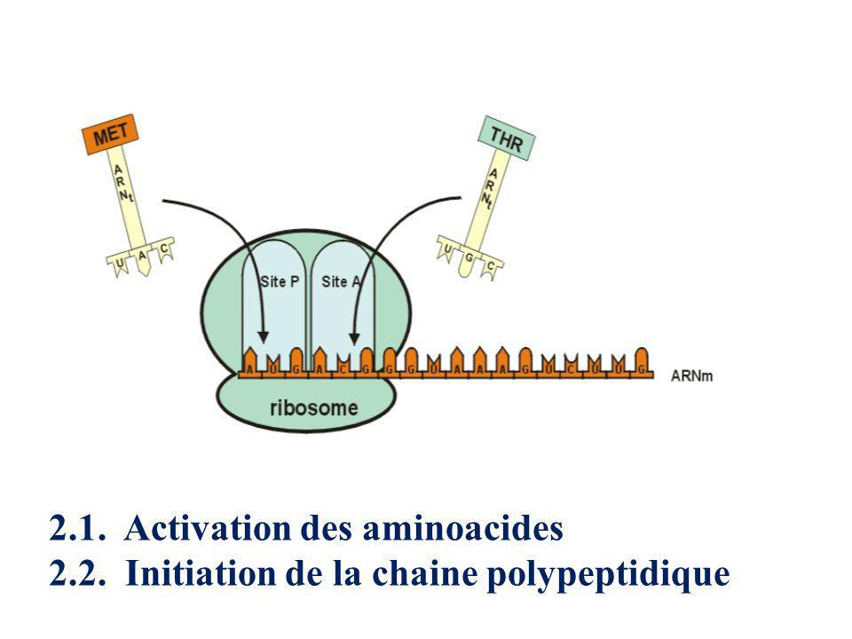 2.1. Activation des aminoacides