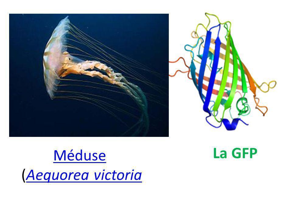 La GFP Méduse (Aequorea victoria