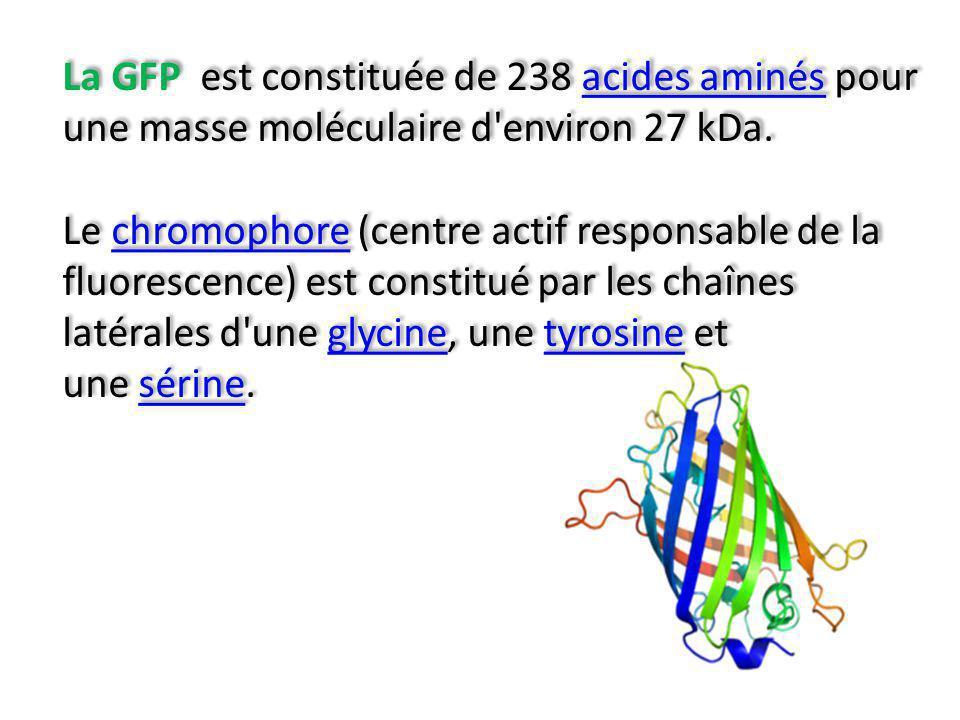 La GFP est constituée de 238 acides aminés pour une masse moléculaire d environ 27 kDa.