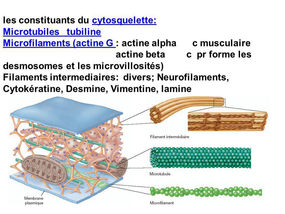 les constituants du cytosquelette: