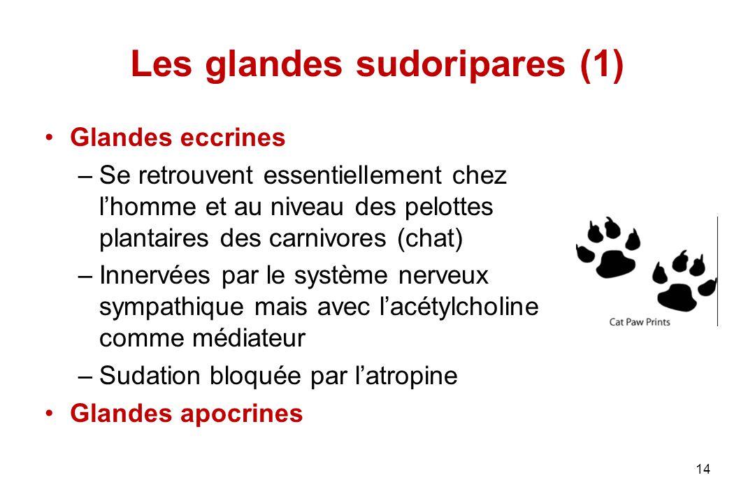 Les glandes sudoripares (1)