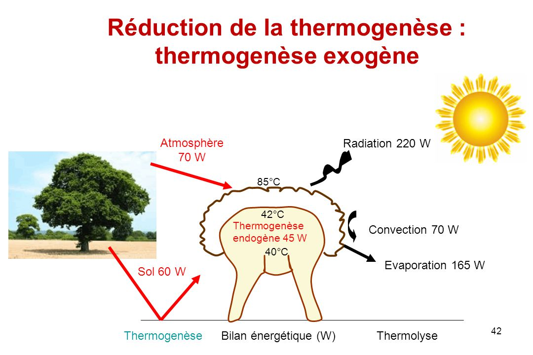 Réduction de la thermogenèse : thermogenèse exogène