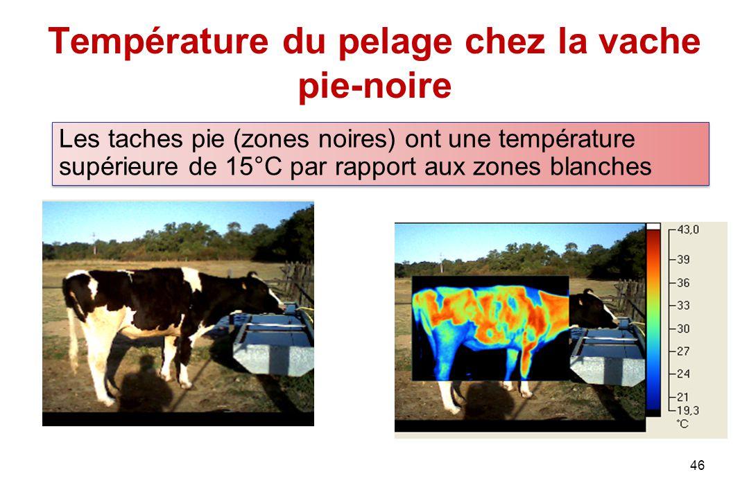 Température du pelage chez la vache pie-noire