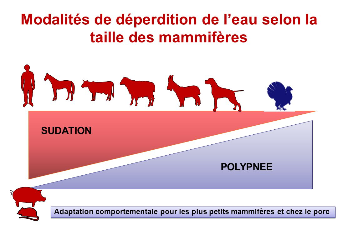 Modalités de déperdition de l'eau selon la taille des mammifères