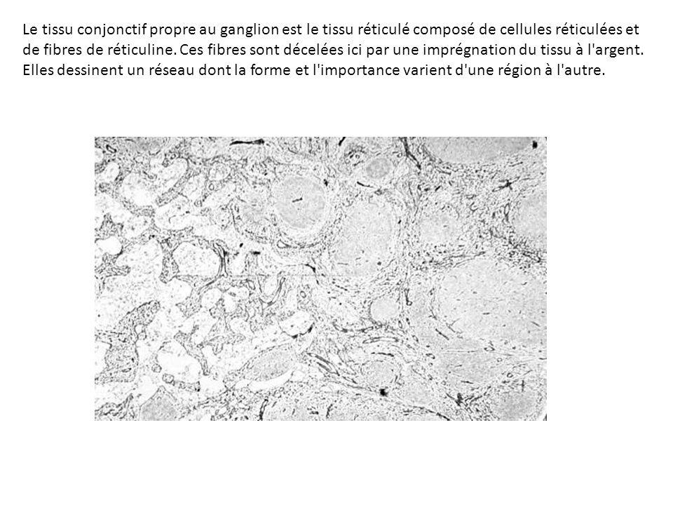 Le tissu conjonctif propre au ganglion est le tissu réticulé composé de cellules réticulées et de fibres de réticuline.