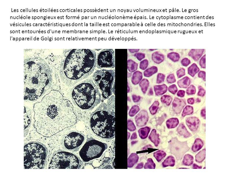 Les cellules étoilées corticales possèdent un noyau volumineux et pâle