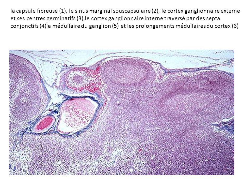 la capsule fibreuse (1), le sinus marginal souscapsulaire (2), le cortex ganglionnaire externe et ses centres germinatifs (3),le cortex ganglionnaire interne traversé par des septa conjonctifs (4)la médullaire du ganglion (5) et les prolongements médullaires du cortex (6)