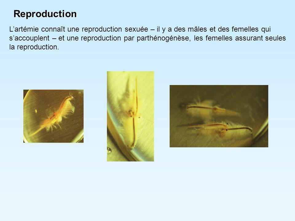Reproduction L'artémie connaît une reproduction sexuée – il y a des mâles et des femelles qui.