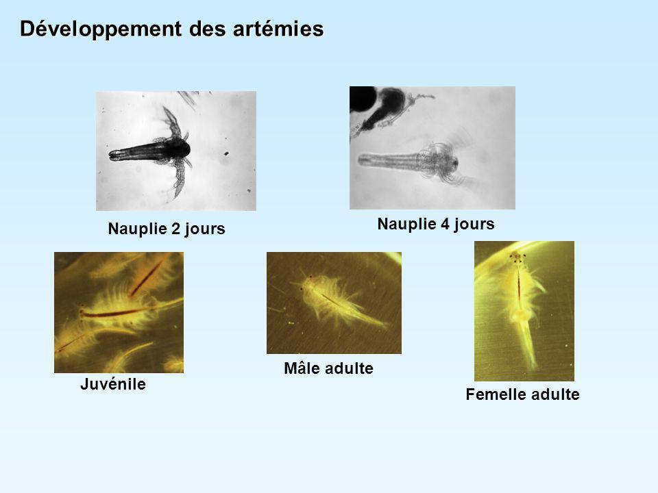 Développement des artémies