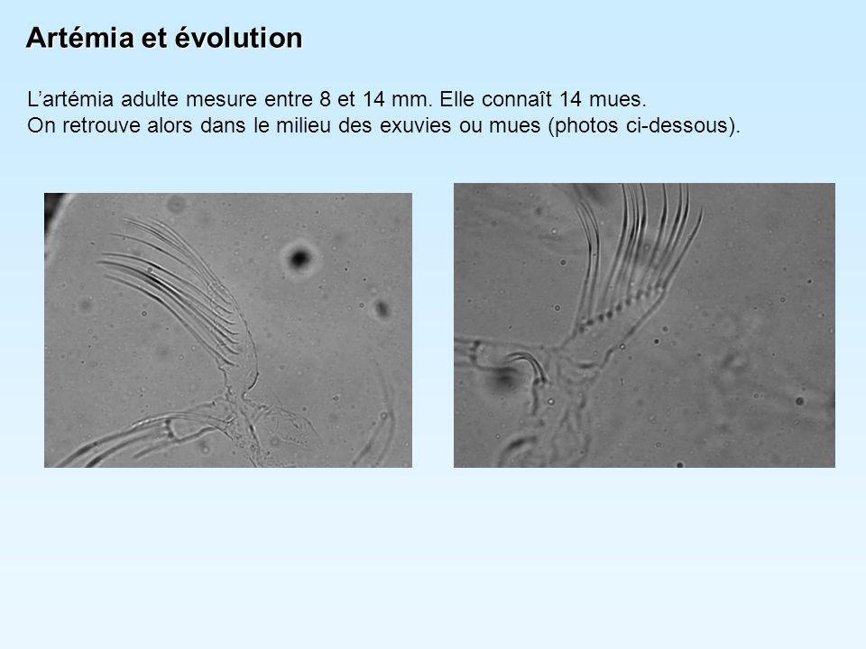 Artémia et évolution L'artémia adulte mesure entre 8 et 14 mm. Elle connaît 14 mues.