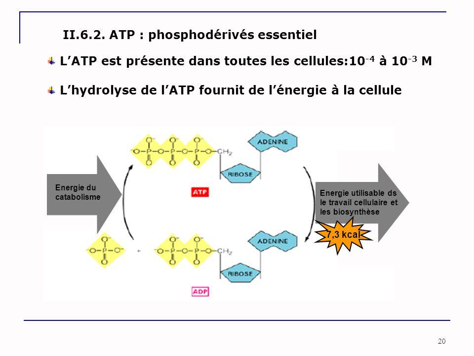 II.6.2. ATP : phosphodérivés essentiel