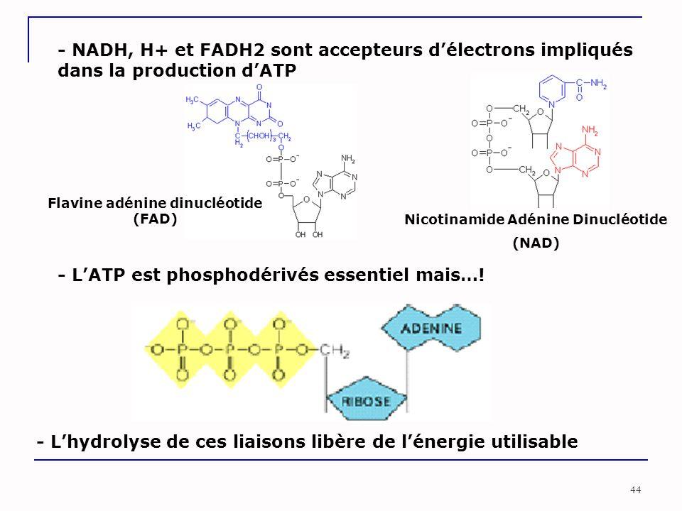 Flavine adénine dinucléotide (FAD) Nicotinamide Adénine Dinucléotide