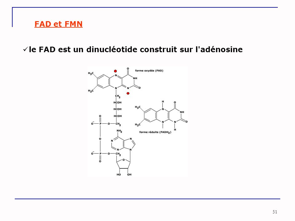 le FAD est un dinucléotide construit sur l adénosine