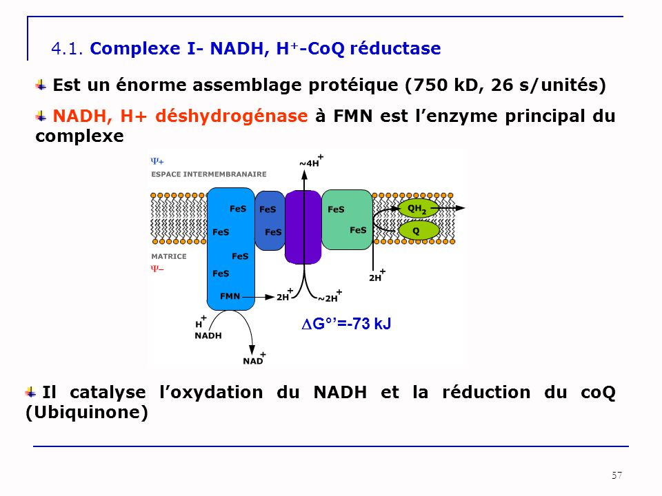4.1. Complexe I- NADH, H+-CoQ réductase