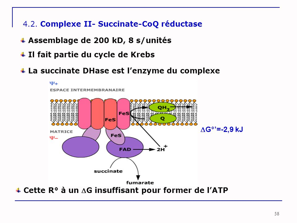 4.2. Complexe II- Succinate-CoQ réductase
