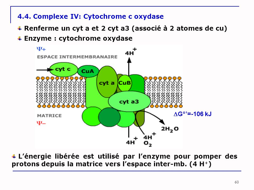 4.4. Complexe IV: Cytochrome c oxydase