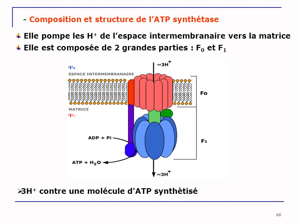 - Composition et structure de l'ATP synthétase
