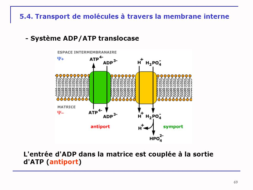 5.4. Transport de molécules à travers la membrane interne