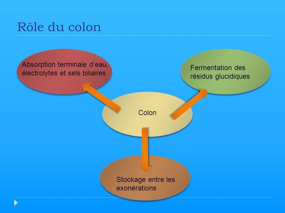Rôle du colon Absorption terminale d'eau,