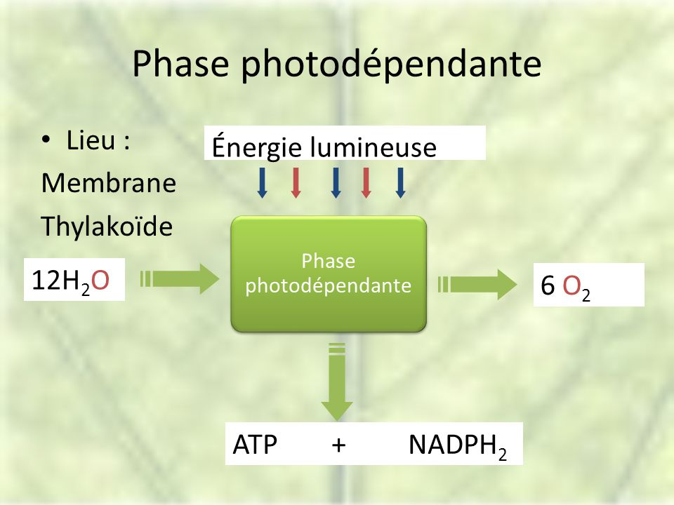 Phase photodépendante