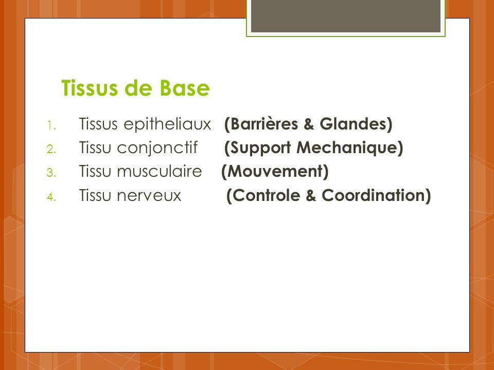 Tissus de Base Tissus epitheliaux (Barrières & Glandes)